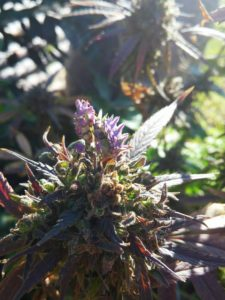 Trippy Weed Mantis - Copyleft Panda