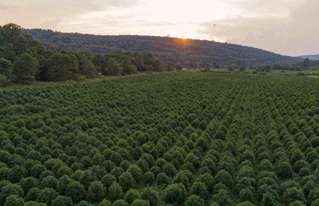 Hemp Fields.